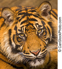 Sumatran Tiger - This young Sumatran Tiger was photographed...