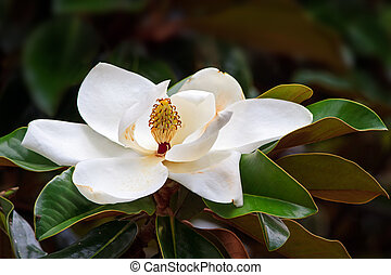 Southern Magnolia Blossom - A large, creamy white southern...