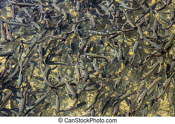 Trouts in the pond - Many trouts in the tranquil cristal...
