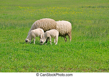 Sheep grazing on meadow - Two sheep and two lamb grazing on...