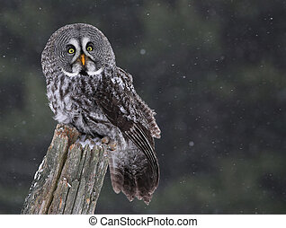 Sitting Great Gray Owl - A Great Grey Owl (Strix nebulosa)...