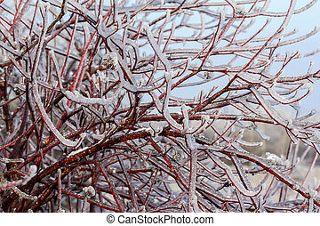 Intensely branches of willow tree engulfed in ice in winter