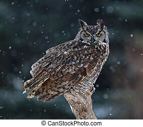 Great Horned Owl Portrait - A Great Horned Owl (Bubo...