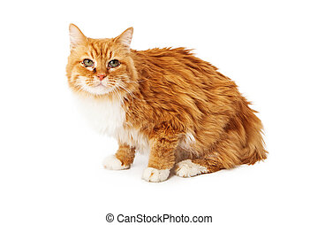 amarillo, gato, ojo, infección, Sentado