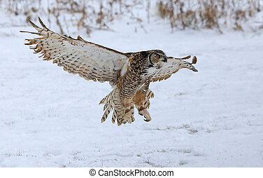 Great Horned Owl with Wings Spread - A Great Horned Owl...