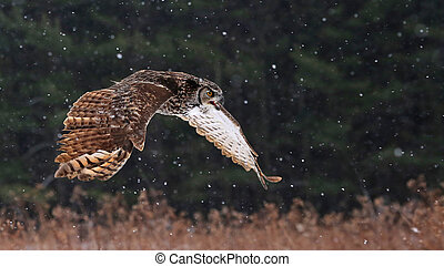 Speaking Great Horned Owl in Flight - A Great Horned Owl...