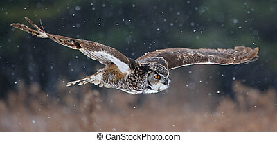 Gliding Great Horned Owl - A Great Horned Owl (Bubo...