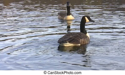 Two synchronized geese - Close up of two geese swimming in...