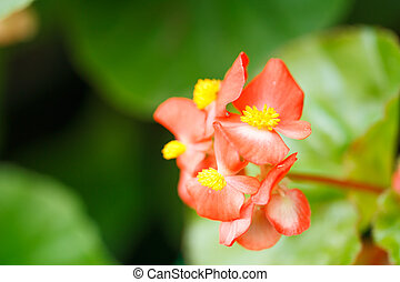 Red begonias flower