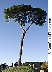 Stone pine - italian stone pine standing alone in a park