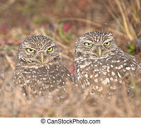 Owls - Burrowing owl couple, Athene cunicularia. Focus on...