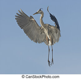 Great Blue heron - Great Blue Heron in breeding plumage.