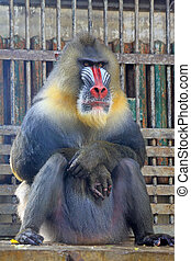 Mandrill Mandrillus sphinx in the Beijing zoo, china