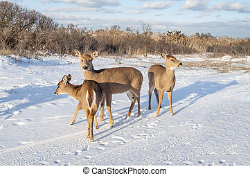 Group of Deer 7705 - Three deer at the beach foraging for...