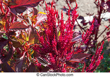 Amaranth is one of the family Amaranthaceae - Amaranth has...