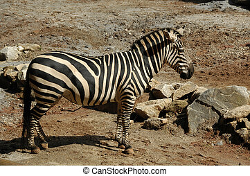 Zebra, Burchells Equus Burchellii - AKA Common or Plains...