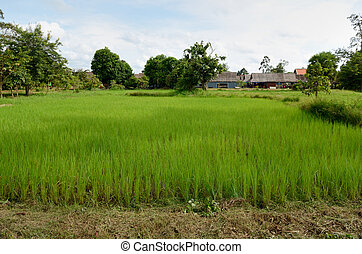 Ricefield - Rice field near Siem Reap, Cambodia.