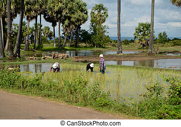 Cambodians working in the rice field near Siem Reap,...