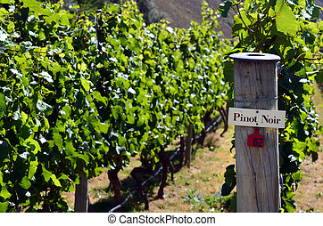 Pinot Noir sign on grape vine in Gibbston valley in Otago,...