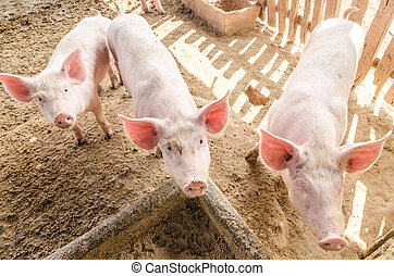 Young pigs on the farm, look at camera