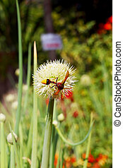 Insects on onion flower stem