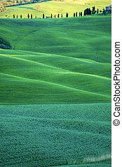 verde, campos, trigo