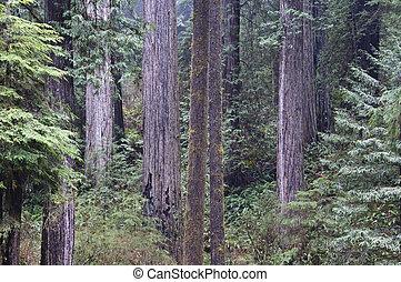Redwoods, Redwood National Park. - Redwood trees in Redwood...