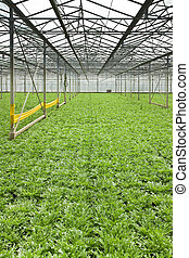 Growing andive plants in glasshouse - Monoculture of Andive...