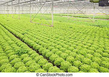 Growing salad plants in glasshouse - Greenhouse with growing...
