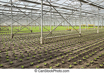 Planting new young salad plants in glasshouse - Overview...
