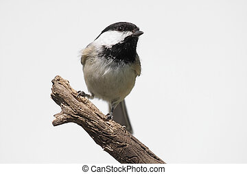 Isolated Bird On A Stump - Black-capped Chickadee poecile...