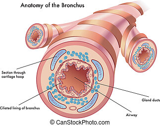 anatomy of the bronchus - medical illustration of the...
