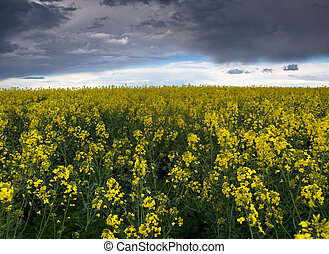 Colza or Canola field - Colza or canola field under stormy...