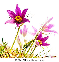pasque flower - Close up of pasque flower isolated on white