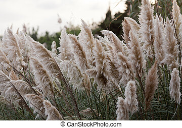 Pampas grass blowing in the wind - Cortaderia selloana or...