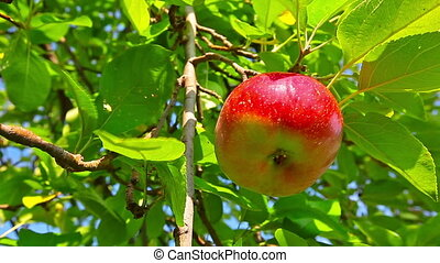 red apple hanging on a tree