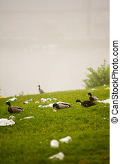 Nature versus ecology - Flock of ducks on a grassy field on...