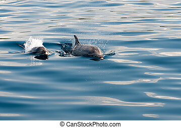 Dolphin swimming in Adriatic sea during summer yachting...