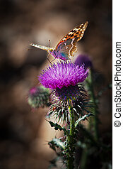 Butterfly and thistle - Colorfull butterfly sitting on a...