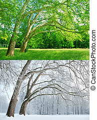 Two plane trees in two different seasons - Summer and Winter