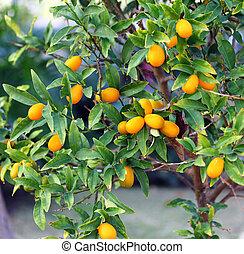 Kumquat Tree - Exotic orange - Kumquat tree with fruit and...