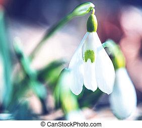 Snowdrops - snowdrops