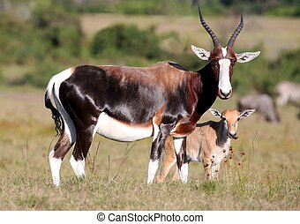 Bontebok Antelope and Baby - Bontebok antelope with its baby...