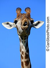 Giraffe Funny Face - Giraffe with a funny face looking like...