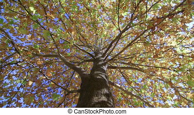 DOLLY: Autumn maple tree - Autumn maple tree dolly shot