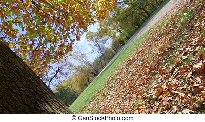 DOLLY: Autumn maple tree in the park - Autumn maple tree in...