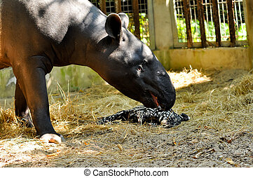 tapir family - Juvenile tapir, still with a point, well...
