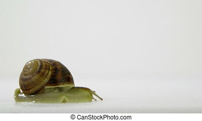 Snail crawling on a white background - Garden snail moving...