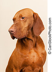 Hungarian or Magyar Vizsla isolated over cream background
