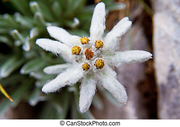Edelweiss - White beauty Edelweiss flower in nature of high...